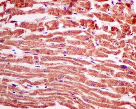 Immunohistochemistry (Formalin/PFA-fixed paraffin-embedded sections) - Anti-AUH antibody [EPR11087(B)] (ab155980)