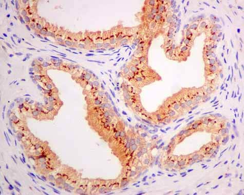 Immunohistochemistry (Formalin/PFA-fixed paraffin-embedded sections) - Anti-ARL 1 antibody [EPR10595] (ab155982)