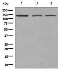 Western blot - Anti-NUP133 antibody [EPR10808(B)] (ab155990)