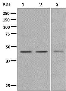 Western blot - Anti-GPCR GPR14 antibody [EPR4549(2)] (ab156003)