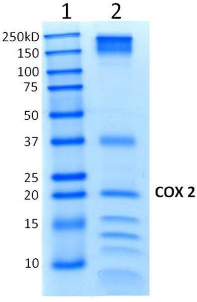 Immunoprecipitation - Anti-MTCO2 antibody [MM7D-5A11CA9] (ab156031)