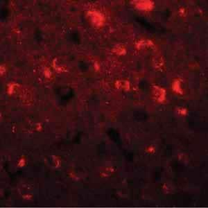 Immunocytochemistry/ Immunofluorescence - Anti-TMEM59L antibody - C-terminal (ab156287)