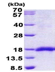 SDS-PAGE - Recombinant Human SEP15 protein (ab156315)