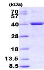 SDS-PAGE - Recombinant <em>E. coli </em> mutY protein (ab156319)