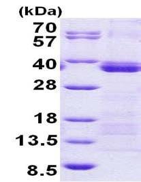 SDS-PAGE - Recombinant Human U2AF35/U2AF1 protein (denatured) (ab156324)