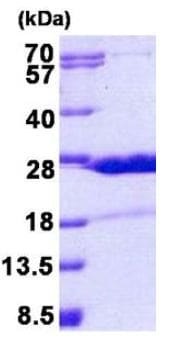 SDS-PAGE - Recombinant Human HN1 protein (ab156346)