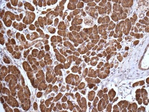 Immunohistochemistry (Formalin/PFA-fixed paraffin-embedded sections) - Anti-rSec6 antibody [EPR10812] (ab156568)