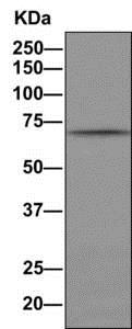 Immunoprecipitation - Anti-Cdc25A (phospho S124) antibody [EPR8888] (ab156574)