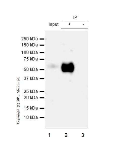 Immunoprecipitation - Anti-Tau (phospho S396) antibody [EPR2731] - BSA and Azide free (ab156623)