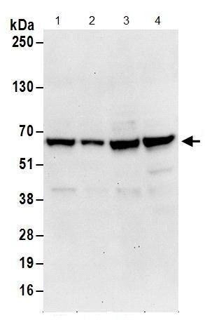 Western blot - Anti-MTPAP antibody (ab156684)