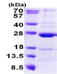 SDS-PAGE - Recombinant Human CCDC90B protein (ab156720)