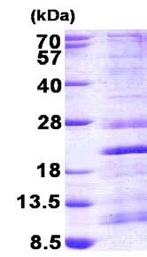 SDS-PAGE - Recombinant Human RPS13 protein (ab156726)