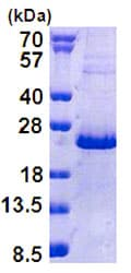 SDS-PAGE - Recombinant Human NHLH2 protein (ab156745)