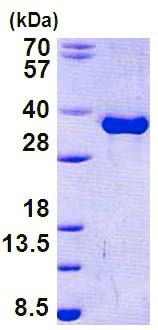 SDS-PAGE - Recombinant Human Torsin A/DYT1 protein (ab156747)