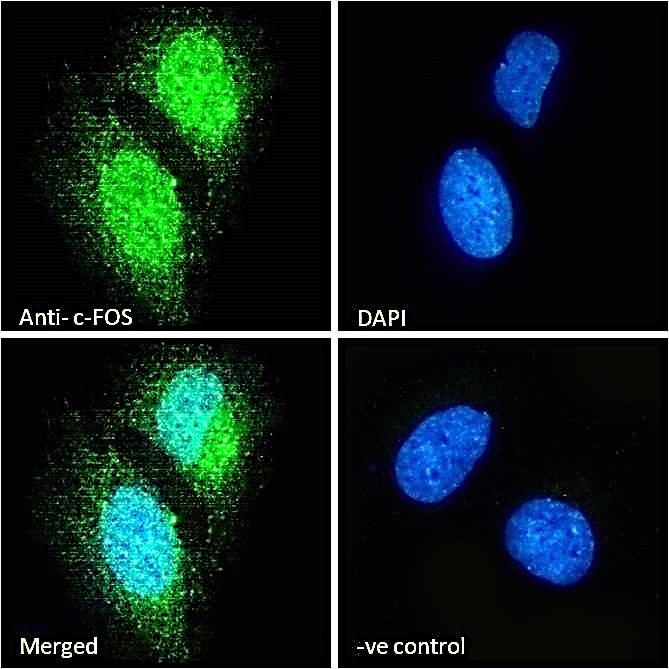 Immunocytochemistry - Anti-c-Fos antibody (ab156802)