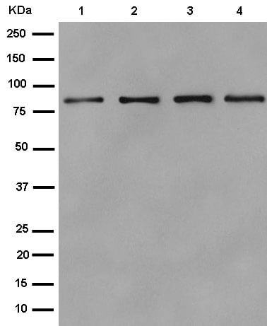 Western blot - Anti-PRDM4/PFM1 antibody [EPR9432] (ab156867)