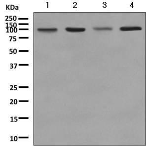 Western blot - Anti-Argonaute-2 antibody [EPR10410] (ab156870)