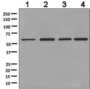 Western blot - Anti-SF3A3 antibody [EPR10020] (ab156873)