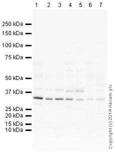 Western blot - Anti-CRLS1 antibody (ab156882)