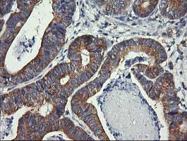 Immunohistochemistry (Formalin/PFA-fixed paraffin-embedded sections) - Anti-DRP1 antibody [OTI4F6] (ab156951)