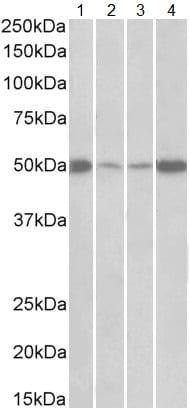 Western blot - Anti-EEF1A2 antibody (ab156954)