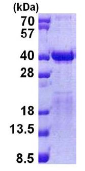 SDS-PAGE - Recombinant Human TFIIS protein (ab156967)