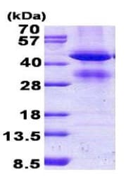 SDS-PAGE - Recombinant Human GCAT protein (denatured) (ab156971)
