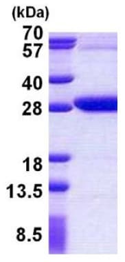 SDS-PAGE - Recombinant Human REXO2 protein (ab156973)