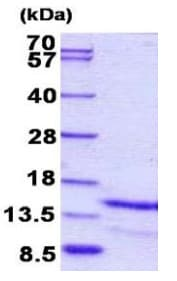SDS-PAGE - Recombinant Human Galanin protein (ab156977)