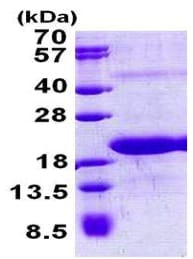 SDS-PAGE - Recombinant Human Surb7 protein (ab156980)