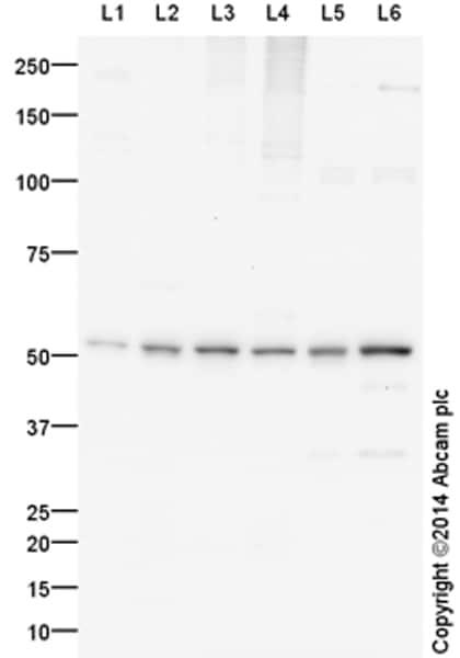 Western blot - Anti-NEURL1B antibody (ab156988)