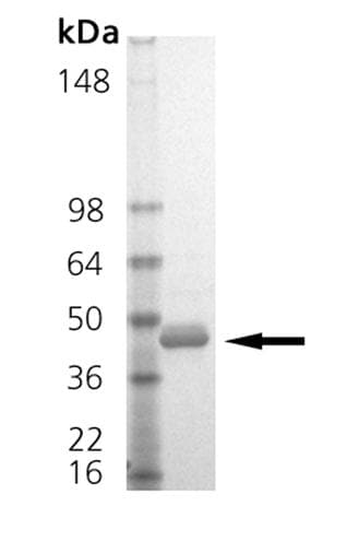 SDS-PAGE - Recombinant Human ITLN1 protein (ab157030)