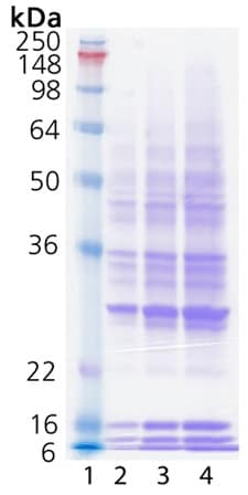 SDS-PAGE - Ubn-ubiquitinylated substrate (ab157043)