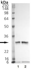 SDS-PAGE - Recombinant human Cathepsin K protein (ab157067)