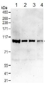 Western blot - Anti-Cullin 4B/CUL-4B antibody (ab157103)