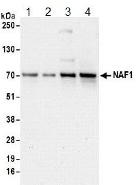 Western blot - Anti-NAF1 antibody (ab157106)