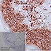 Immunohistochemistry (Formalin/PFA-fixed paraffin-embedded sections) - Anti-CD44 antibody (ab157107)