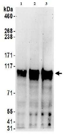 Western blot - Anti-SP1 antibody (ab157123)