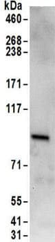 Immunoprecipitation - Anti-RAVER1 antibody (ab157131)