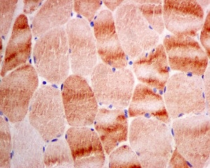 Immunohistochemistry (Formalin/PFA-fixed paraffin-embedded sections) - Anti-RASA4 antibody [EPR10515] (ab157190)