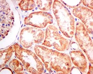 Immunohistochemistry (Formalin/PFA-fixed paraffin-embedded sections) - Anti-Tropomodulin 3 antibody [EPR10303(B)] (ab157215)
