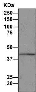 Immunoprecipitation - Anti-PTDSS1 antibody [EPR8118(2)] (ab157222)