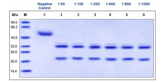Functional Studies - Recombinant Picornain 3C protein (ab157275)