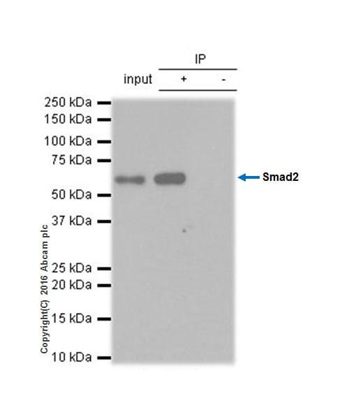 Immunoprecipitation - Anti-Smad2 antibody [EP784Y] - BSA and Azide free (ab157371)