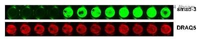 Immunocytochemistry - Anti-Smad3 antibody [EP568Y] - BSA and Azide free (ab157372)