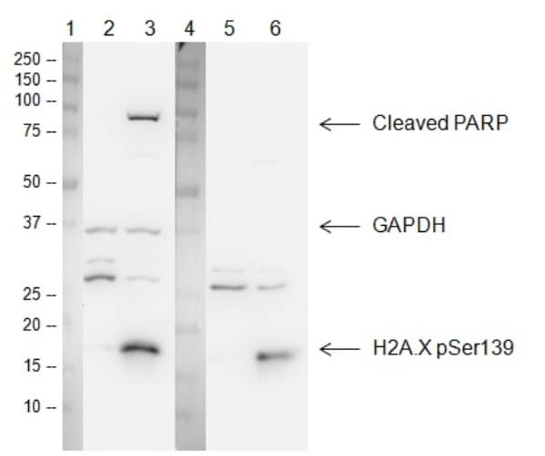 Figure 3.  Western blot with ab131385 Apoptosis and DNA Damage Western Blot Cocktail