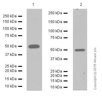 Western blot - Anti-eEF1A1/EF-Tu+eEF1A1 + eEF1AL3 antibody [EPR9471] (ab157455)