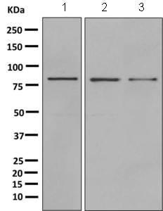 Western blot - Anti-OPA1 antibody [EPR11057(B)] (ab157457)