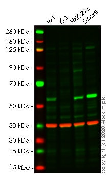 Western blot - Anti-DNA polymerase mu antibody [EPR10470(B)] (ab157465)