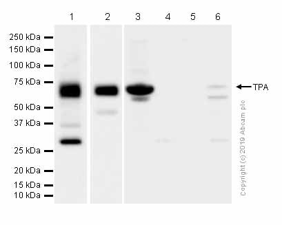 Western blot - Anti-Tissue Plasminogen Activator antibody [EPR7232(2)] (ab157469)
